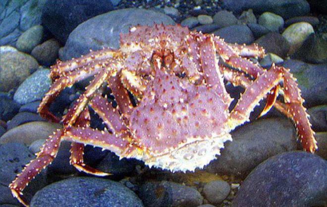 Đây là cuộc đời đầy trái ngang của loài hoàng đế biển Alaska - ảnh 8