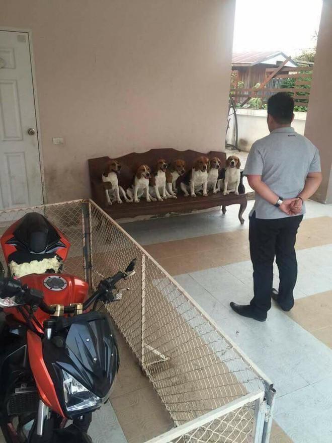 7 chú chó hợp sức phá tan yên xe của chủ, lại còn diễn sâu khi bị hỏi cung - Ảnh 2.