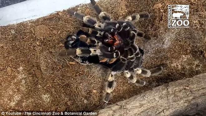 Dù là không sợ nhện thì cảnh tượng nhện khổng lồ Tarantula lột xác cũng khiến bạn thấy gai người - ảnh 3