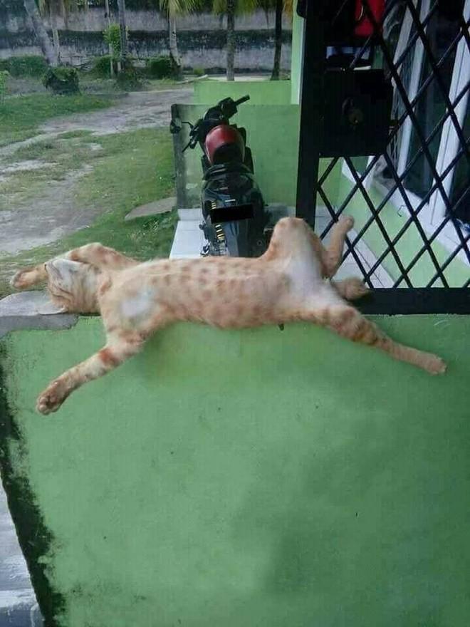 Chùm ảnh: Những pha ngủ ngày bá đạo của các quàng thượng mèo trên khắp cả nước - Ảnh 10.