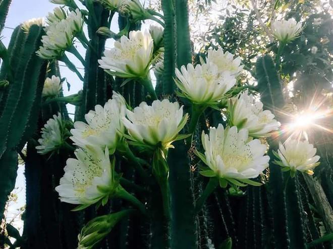 Cư dân mạng phát sốt với hàng rào xương rồng nở đầy hoa trắng, làm mát rượi một con đường ở Sóc Trăng - Ảnh 2.