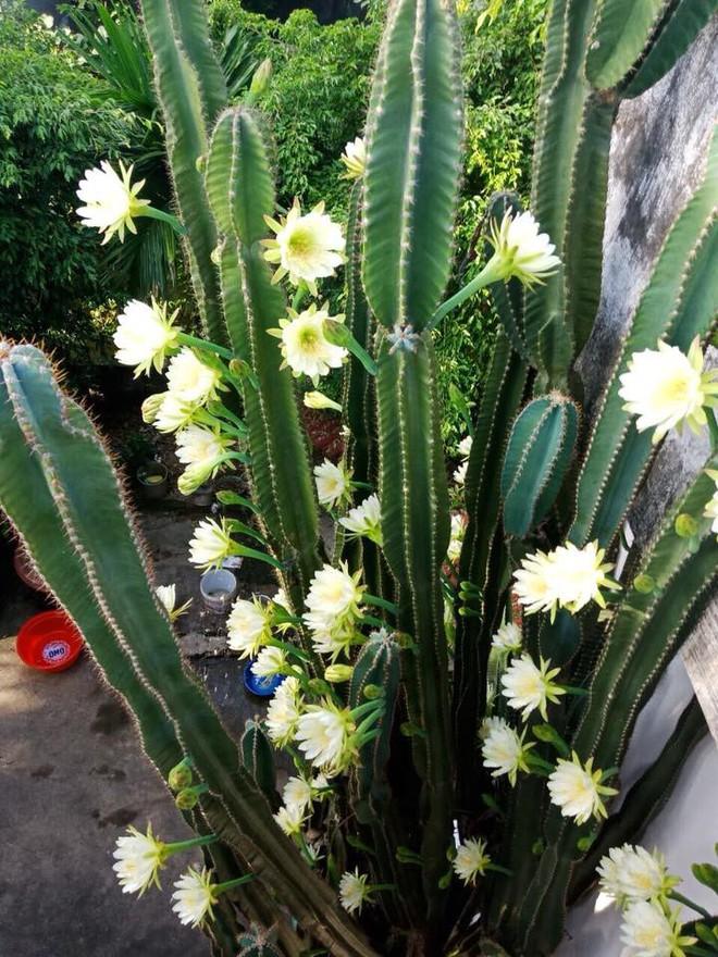 Cư dân mạng khoe trồng xương rồng ra hoa rực rỡ xem ai mát tay hơn - Ảnh 7.