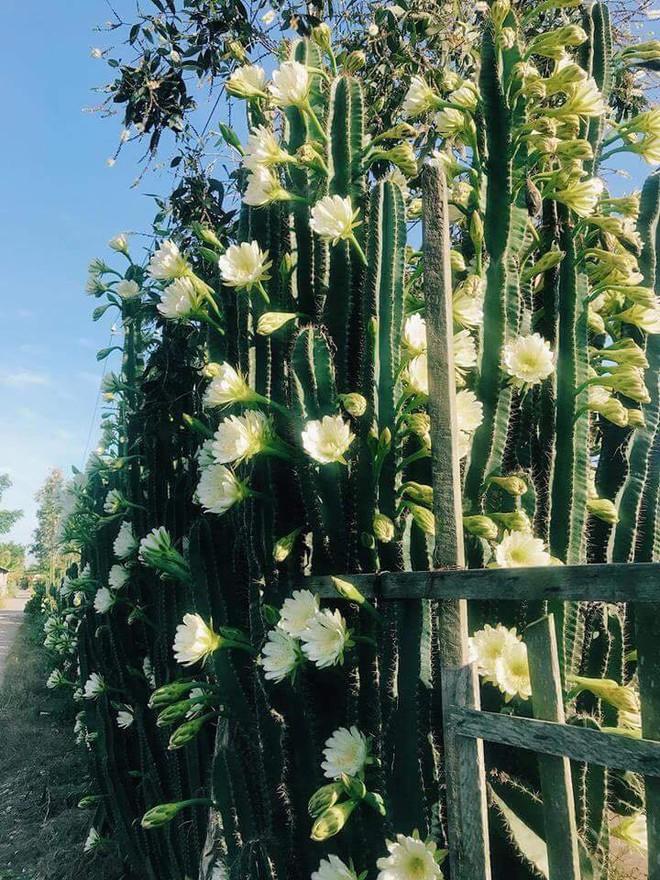Cư dân mạng phát sốt với hàng rào xương rồng nở đầy hoa trắng, làm mát rượi một con đường ở Sóc Trăng - Ảnh 3.