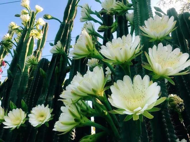 Cư dân mạng phát sốt với hàng rào xương rồng nở đầy hoa trắng, làm mát rượi một con đường ở Sóc Trăng - Ảnh 6.