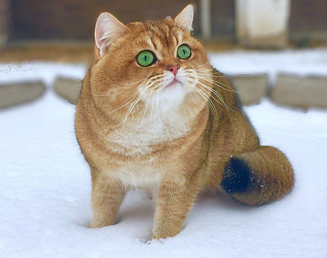 Nóng trên mạng: Ai cũng nghĩ đang nhìn một con chó Shiba béo ú cho tới khi nó quay mặt lại - Ảnh 2.