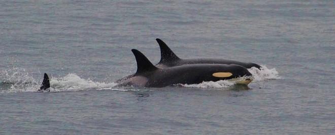 Bà mẹ cá voi sát thủ cuối cùng đã chịu buông bỏ xác con sau 17 ngày lênh đên trên đại dương - ảnh 1