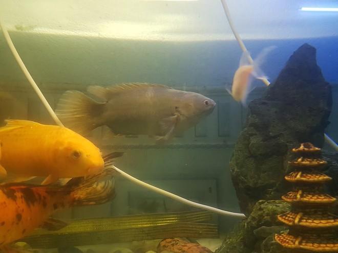 Chú cá rô bỗng nổi tiếng MXH vì gương mặt đầy biểu cảm, quyết tâm xa lánh thanh niên chủ định ăn thịt mình - Ảnh 1.
