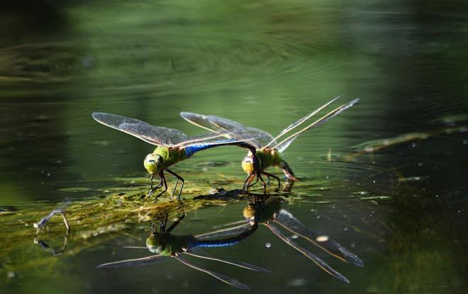 Loài chuồn chuồn cũng di cư nhưng hành trình ấy dài đến mức không thể tưởng tượng được - Ảnh 1.