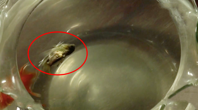 Cậu ba Xuân (Tiếng Sét Trong Mưa) mất vợ vì thói lòe loẹt, cá gì không nuôi lại chọn con cá vàng màu xanh lá cây? - Ảnh 2.