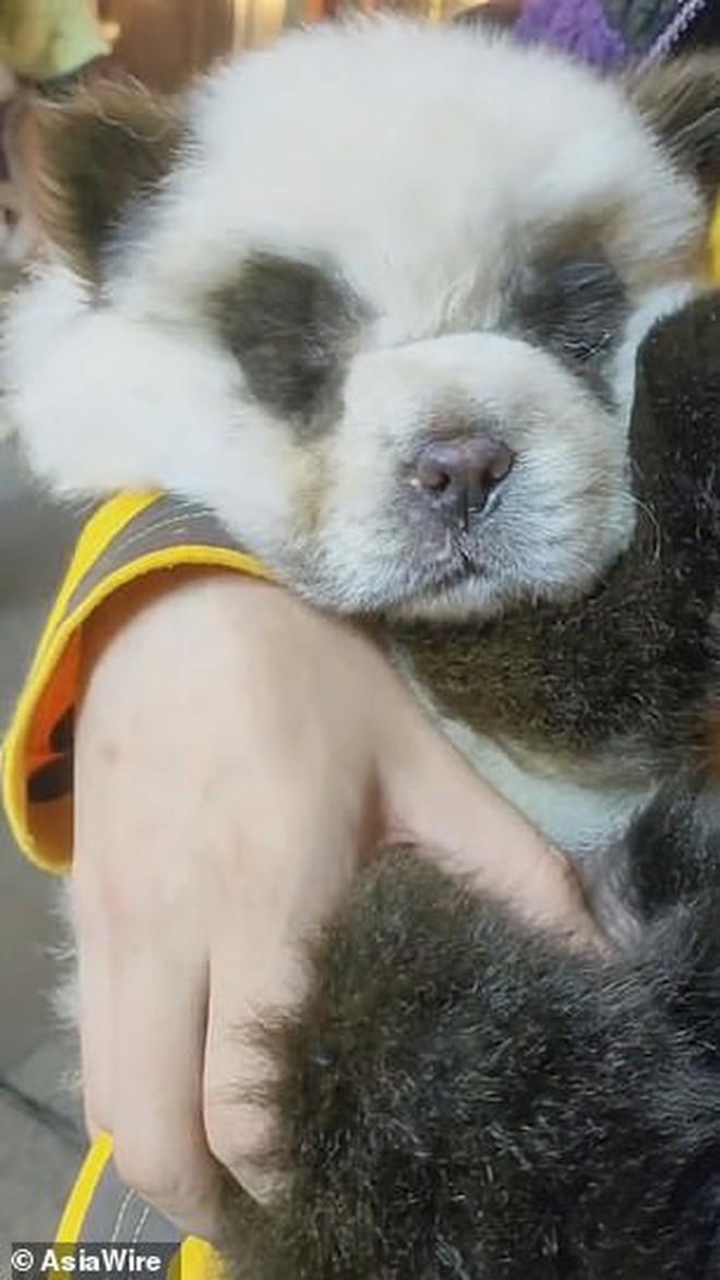 Hô biến chó thành gấu trúc để thu hút khách, quán cà phê thú cưng bị dân mạng ném đá kịch liệt - ảnh 7