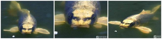 Cá chép với khuôn mặt giống người làm dậy sóng mạng xã hội, nhưng đây không phải là trường hợp duy nhất - ảnh 2