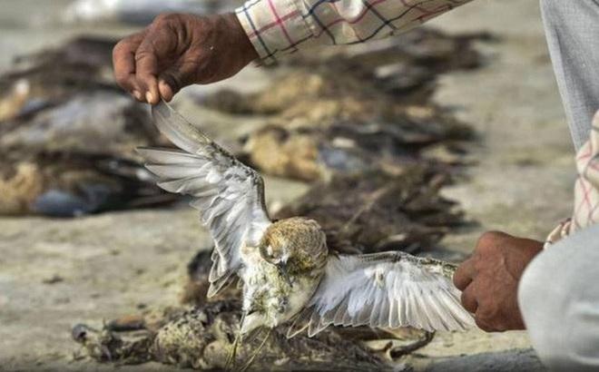 Hơn 2.400 con chim chết bên hồ, phủ kín gần 200 km vuông - ảnh 2