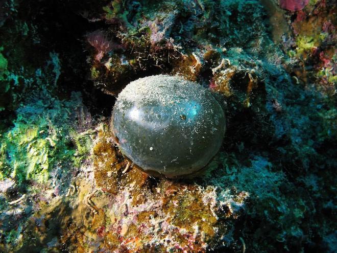 Quả bóng tròn xoe này là một trong những tạo vật đặc biệt bậc nhất mà giới khoa học từng phát hiện ra - ảnh 2