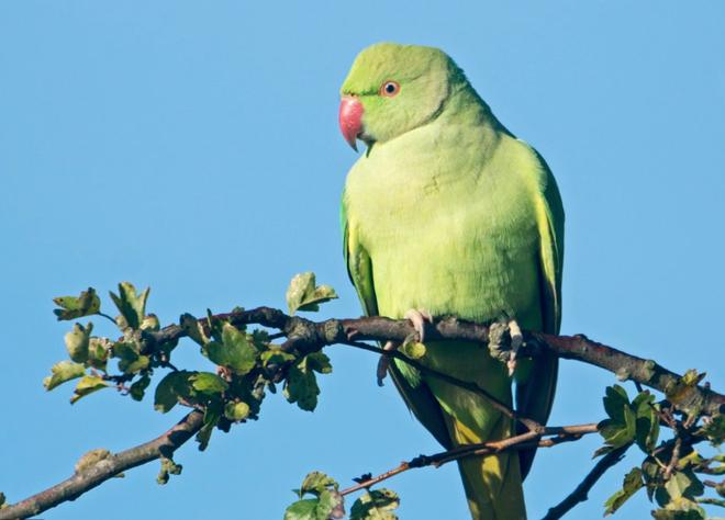 Hàng ngàn con vẹt xanh tự nhiên đổ bộ hàng loạt vào Anh Quốc - bí ẩn suốt hơn 60 năm làm khoa học đau đầu cuối cùng đã có lời giải - ảnh 4