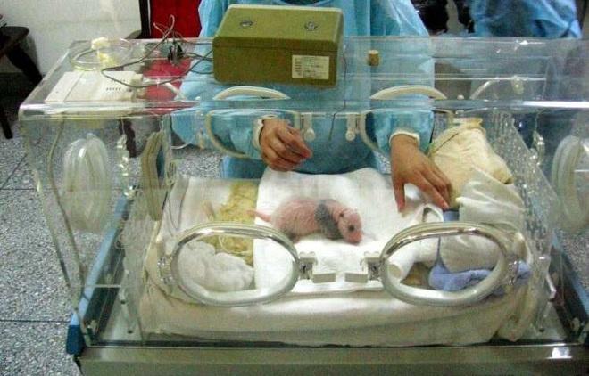 Gấu trúc thân xác to đùng nhưng sao sinh con nặng chỉ 100 grams, bằng 1/900 gấu mẹ: Kiến thức không sách vở nào dạy bạn - ảnh 1