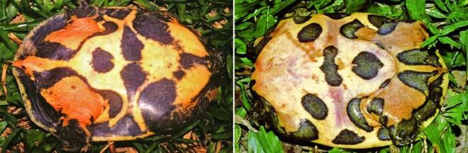 Loài rùa nhọ nhất Valentine: Mới tìm ra đã bị đưa ngay vào sách Đỏ, hạng mục đặc biệt nguy cấp - ảnh 3