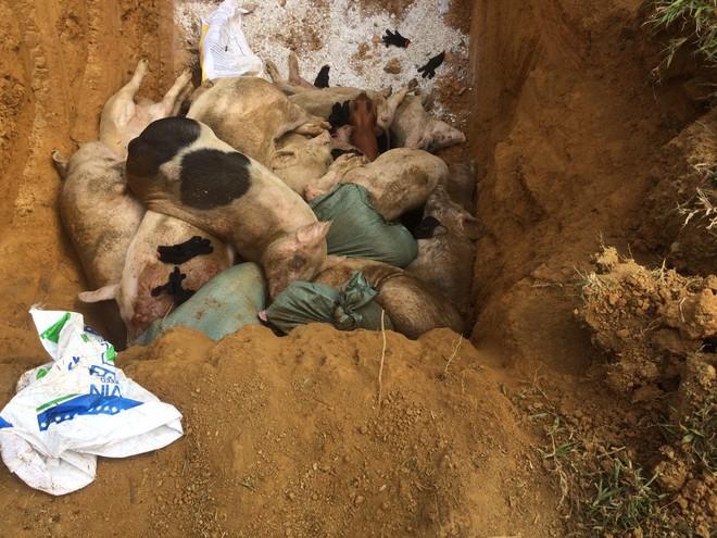 Tiêu hủy 151 con heo bị lở mồm long móng ở Quảng Nam - ảnh 1