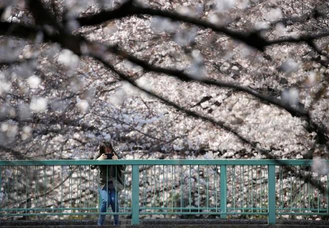 Chiêm ngưỡng hoa anh đào bước vào mùa bung nở đẹp nhất năm - ảnh 1