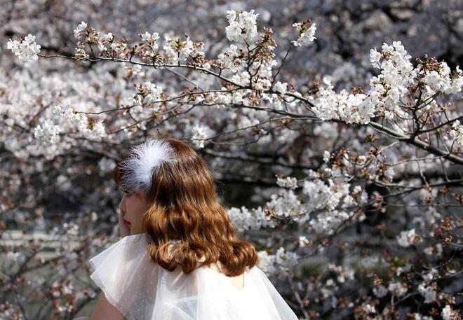 Chiêm ngưỡng hoa anh đào bước vào mùa bung nở đẹp nhất năm - ảnh 2