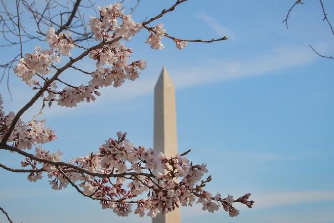 Chiêm ngưỡng hoa anh đào bước vào mùa bung nở đẹp nhất năm - ảnh 12