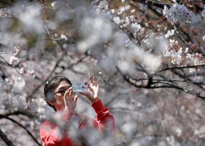 Chiêm ngưỡng hoa anh đào bước vào mùa bung nở đẹp nhất năm - ảnh 13