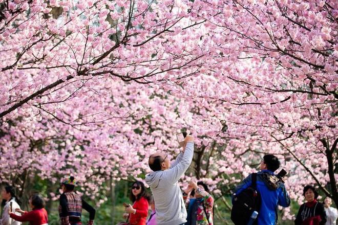 Chiêm ngưỡng hoa anh đào bước vào mùa bung nở đẹp nhất năm - ảnh 4