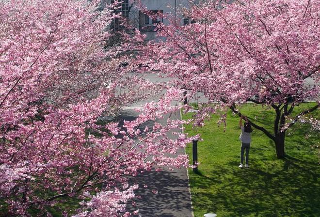 Chiêm ngưỡng hoa anh đào bước vào mùa bung nở đẹp nhất năm - ảnh 6