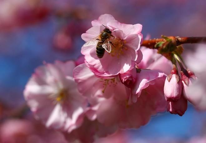 Chiêm ngưỡng hoa anh đào bước vào mùa bung nở đẹp nhất năm - ảnh 7