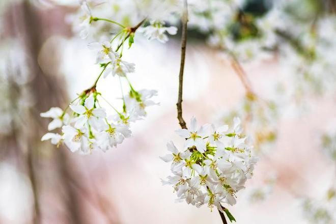 Chiêm ngưỡng hoa anh đào bước vào mùa bung nở đẹp nhất năm - ảnh 9