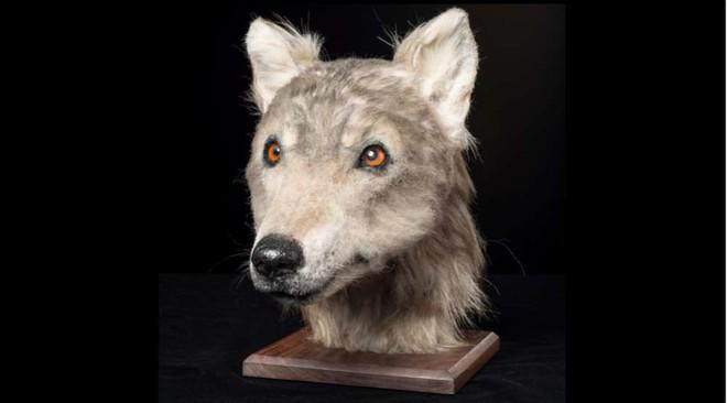 5000 năm trước một con chó trông như thế nào? Câu hỏi không tưởng này cuối cùng đã có đáp án rồi - ảnh 3