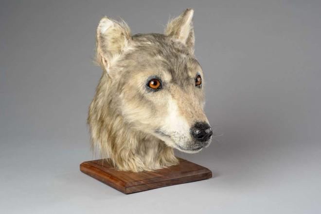 5000 năm trước một con chó trông như thế nào? Câu hỏi không tưởng này cuối cùng đã có đáp án rồi - ảnh 2