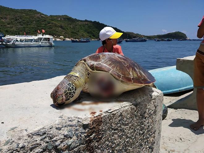 Phát hiện xác cá thể rùa biển bị chặt đứt 2 vây trước tại Vườn quốc gia Núi Chúa - ảnh 1