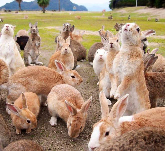 Góc đáng yêu: Hòn đảo thỏ nhiều hơn người ở Nhật Bản, nhìn thôi cũng đã muốn chết chìm vì sự cute  - Ảnh 1.