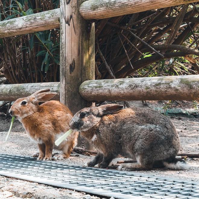 Góc đáng yêu: Hòn đảo thỏ nhiều hơn người ở Nhật Bản, nhìn thôi cũng đã muốn chết chìm vì sự cute  - Ảnh 12.