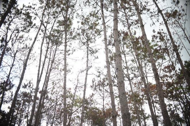 Khởi tố vụ án phá hơn 10 ha rừng thông tại Lâm Đồng - ảnh 2
