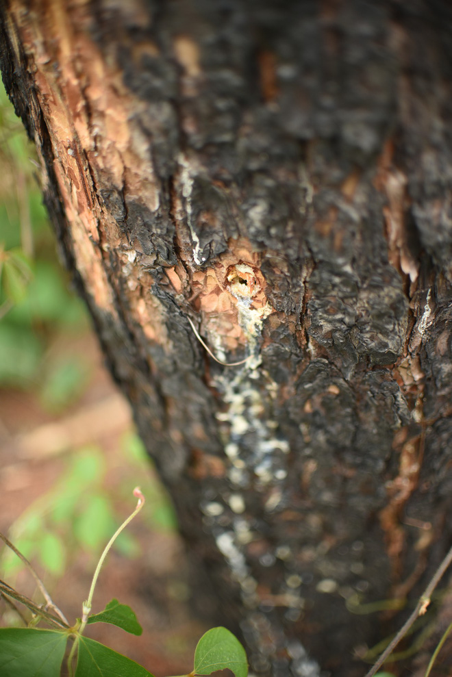 Khởi tố vụ án phá hơn 10 ha rừng thông tại Lâm Đồng - ảnh 3