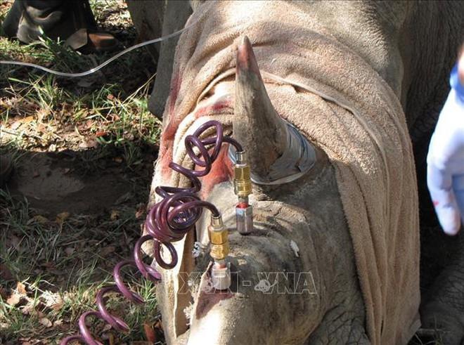 Tiêm thuốc độc vào sừng để... cứu 700 con tê giác - ảnh 1