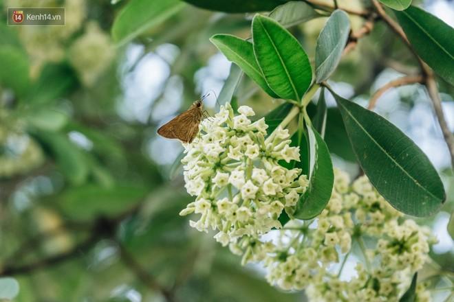 Không chỉ biến hạ thành đông, Hà Nội còn gọi cả hàng cây hoa sữa bung nở khắp phố dù trái mùa - Ảnh 6.