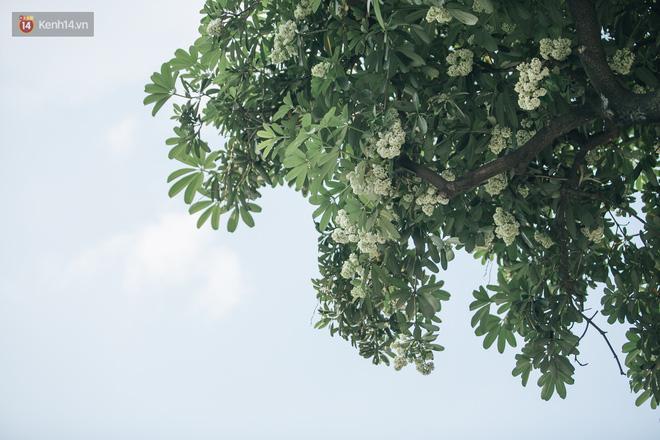 Không chỉ biến hạ thành đông, Hà Nội còn gọi cả hàng cây hoa sữa bung nở khắp phố dù trái mùa - Ảnh 10.