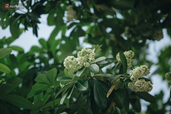Không chỉ biến hạ thành đông, Hà Nội còn gọi cả hàng cây hoa sữa bung nở khắp phố dù trái mùa - Ảnh 9.
