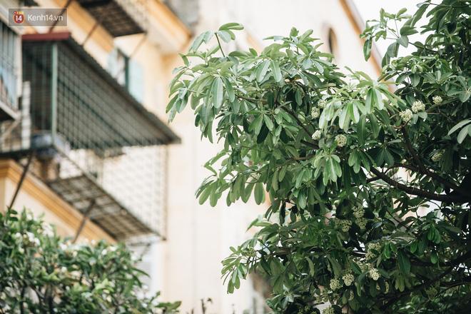 Không chỉ biến hạ thành đông, Hà Nội còn gọi cả hàng cây hoa sữa bung nở khắp phố dù trái mùa - Ảnh 8.