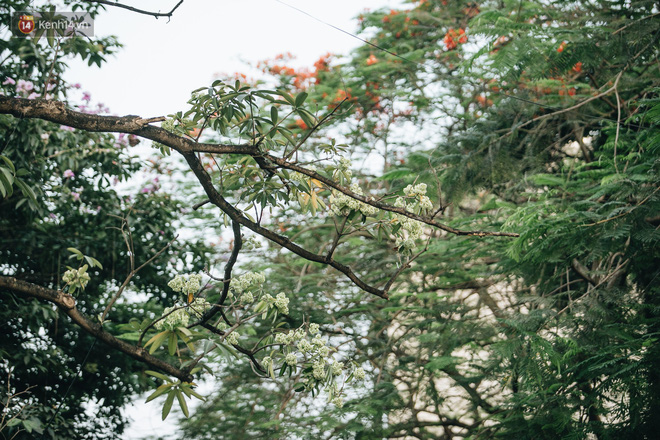 Không chỉ biến hạ thành đông, Hà Nội còn gọi cả hàng cây hoa sữa bung nở khắp phố dù trái mùa - Ảnh 2.