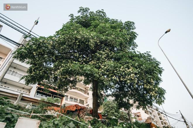 Không chỉ biến hạ thành đông, Hà Nội còn gọi cả hàng cây hoa sữa bung nở khắp phố dù trái mùa - Ảnh 3.