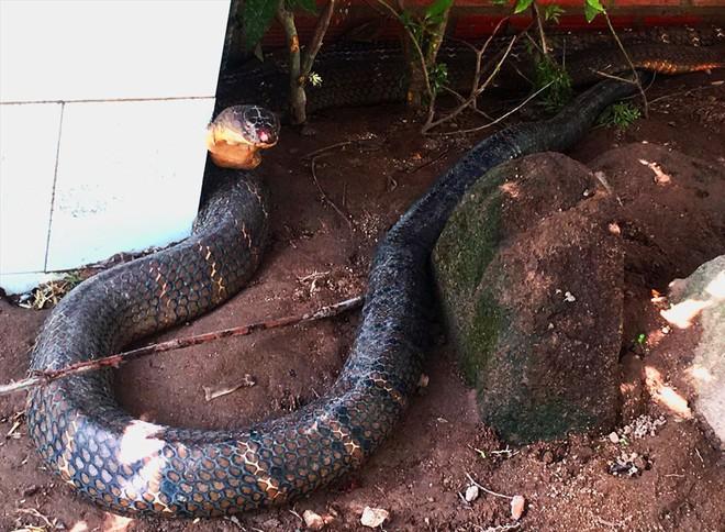 """Đổ xô đi xem rắn hổ mang chúa khổng lồ"""", du khách vỡ mộng - ảnh 2"""