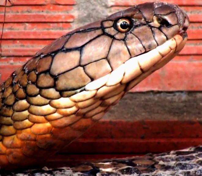 """Đổ xô đi xem rắn hổ mang chúa khổng lồ"""", du khách vỡ mộng - ảnh 3"""