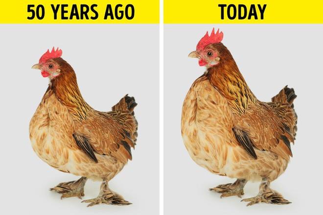 Sự thật về những miếng ức gà có sọc trắng: Ăn cũng không sao, nhưng đằng sau là một sự thật đáng buồn - ảnh 2