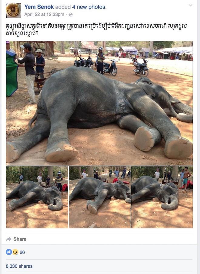 Ám ảnh nạn bóc lột động vật dã man, chính phủ Campuchia cấm hẳn dịch vụ cưỡi voi ở Angkor Wat từ năm 2020 - ảnh 3