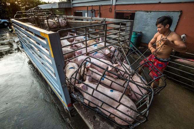 Sự thật tàn khốc đằng sau những lò giết mổ lợn ở Thái Lan với nỗi đau thấu tim can không ai biết - ảnh 1