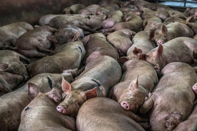 Sự thật tàn khốc đằng sau những lò giết mổ lợn ở Thái Lan với nỗi đau thấu tim can không ai biết - ảnh 2