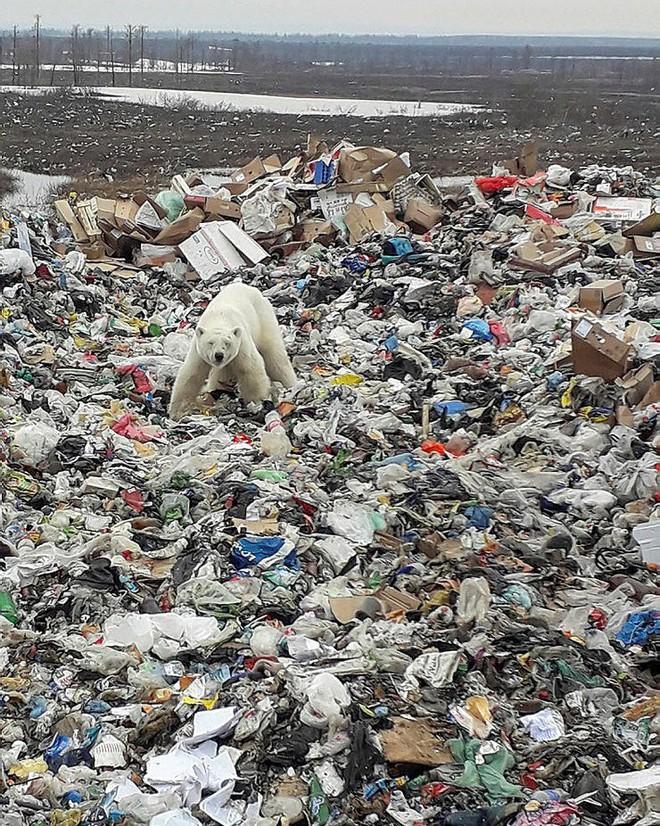 Hình ảnh chú gấu Bắc Cực đi lạc 1.500 km kiếm thức ăn báo động thực trạng khắc nghiệt của biến đổi khí hậu - ảnh 2